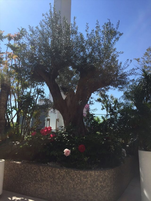 花壇に太い幹のオリーブの木