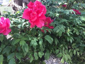 ピンク色の大きな牡丹の花