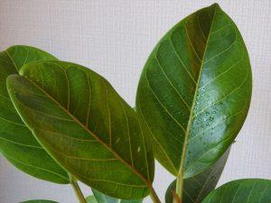 葉水でしずくがついたフィカス・アルテシーマの斑入り葉っぱ