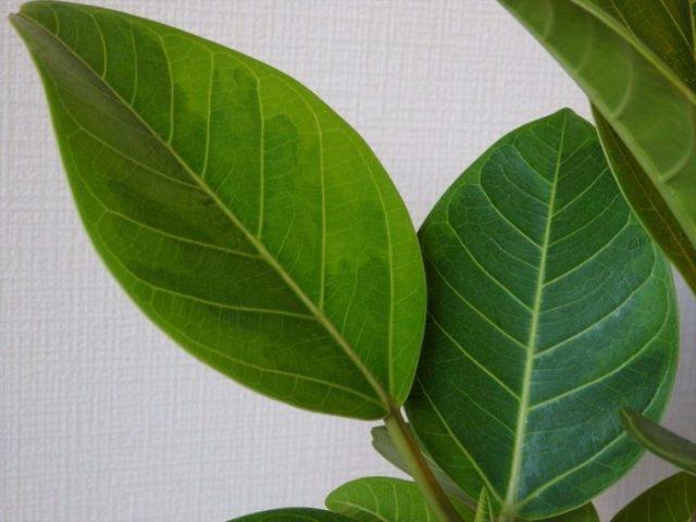 状態良好なフィカス・アルテシーマの斑入り葉っぱのアップ