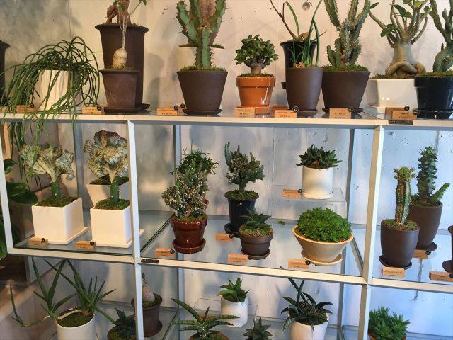 白い棚に並んだ小さな珍しい種類の観葉植物達