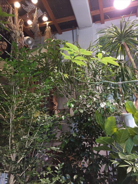 天井の高い倉庫にある超大型の観葉植物達