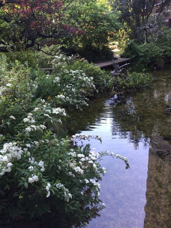 池の畔の満開なユキヤナギと橋