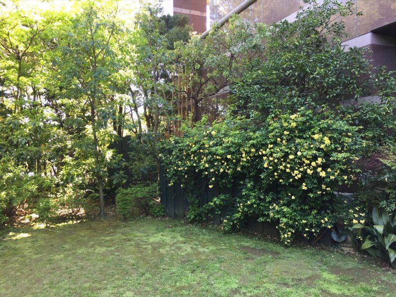 ビルの前の黒い壁に誘引された黄色い花が満開なモッコウバラ