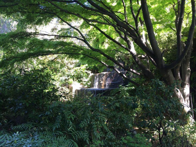 ヒイラギナンテンの奥に見える滝