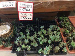 大きくなった多肉植物に格安の値札がついている