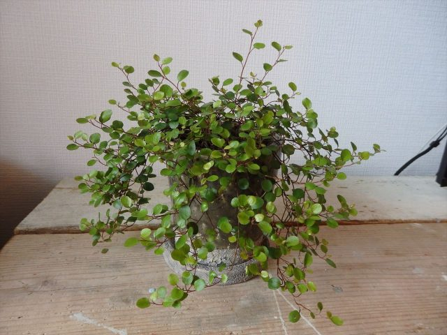 杉の板の上に茶色の陶器に植えられたワイヤープランツという観葉植物