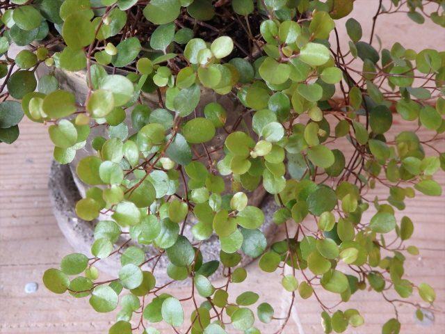 杉の板の上にワイヤープランツの丸い葉っぱ