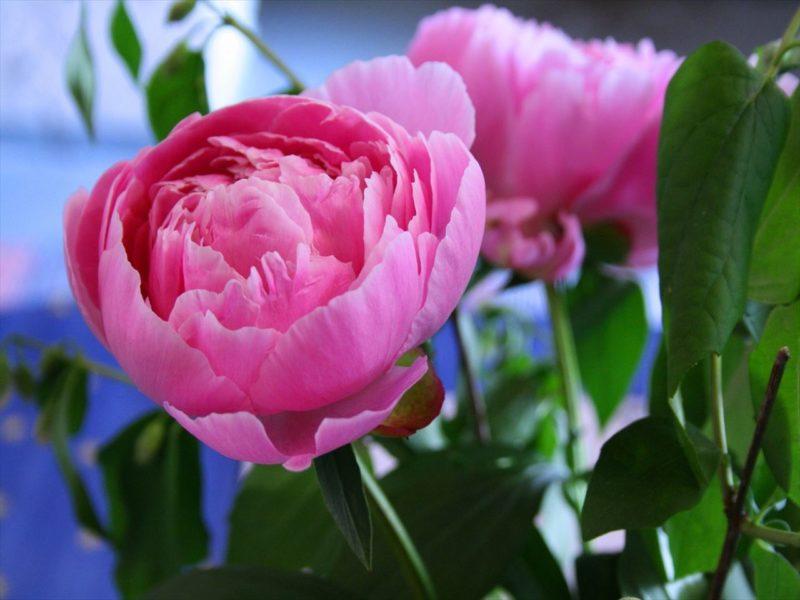 5月が旬の花シャクヤク