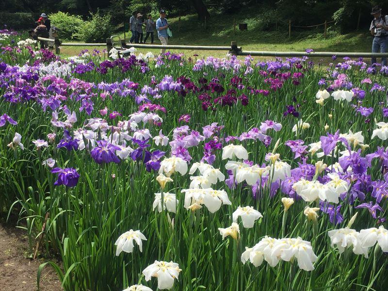 明治神宮の約150種類の花菖蒲