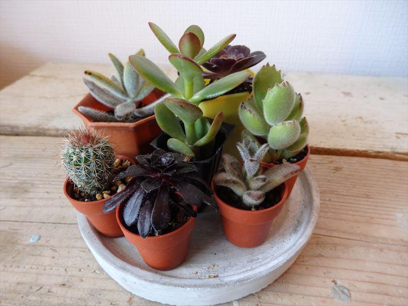 オススメの小さな多肉植物五種とサボテン
