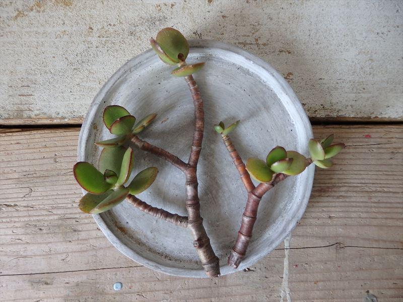 切り口を乾燥中の挿し木用の枝