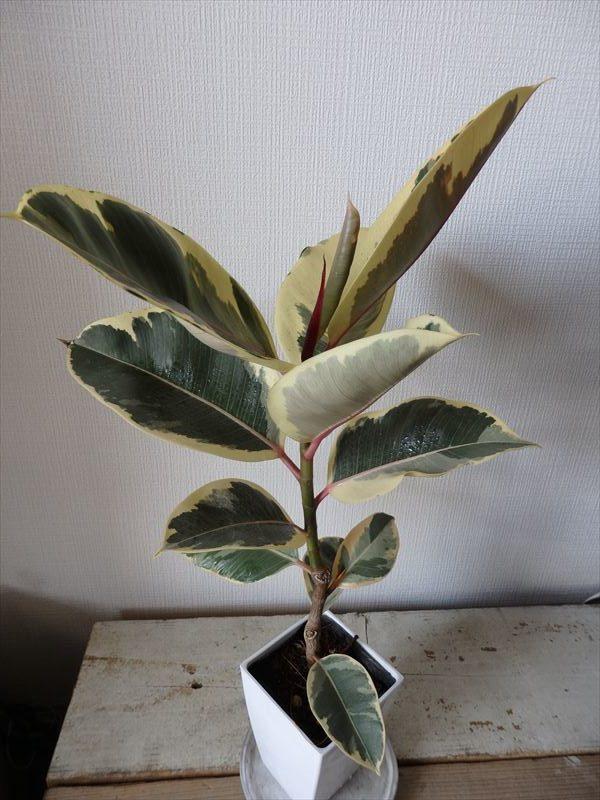 人気の斑入りのゴムの木の一種