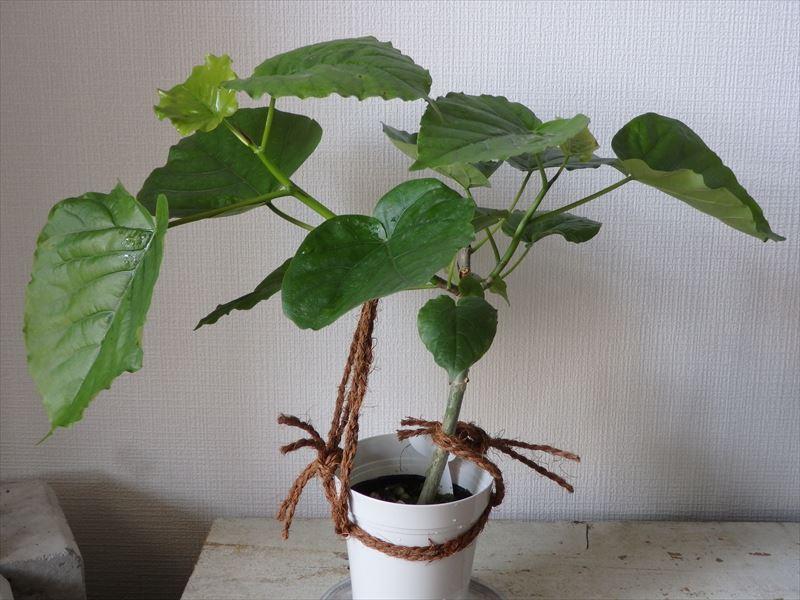 仕立て中の人気観葉植物