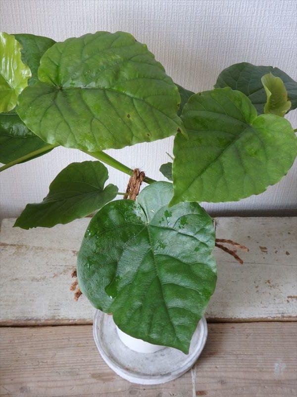 最もメジャーな観葉植物のひとつ