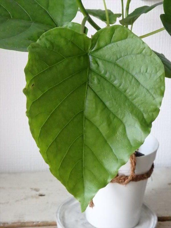 可愛いハート型の観葉植物