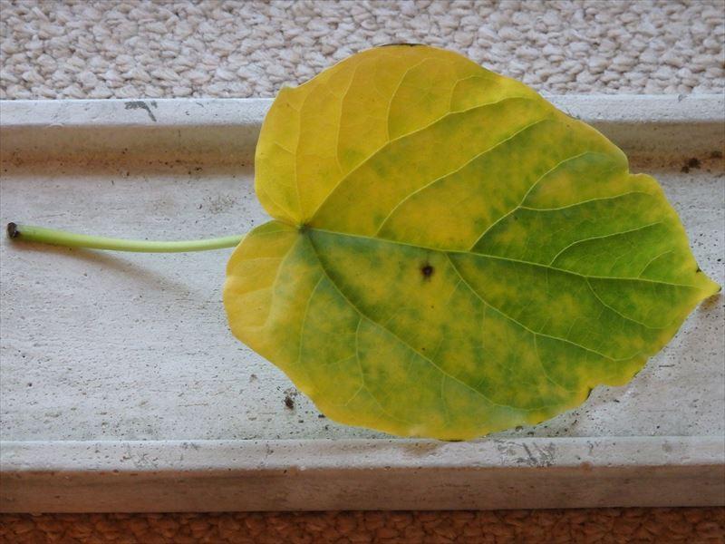 風で鉢が倒れ落ちた葉っぱ