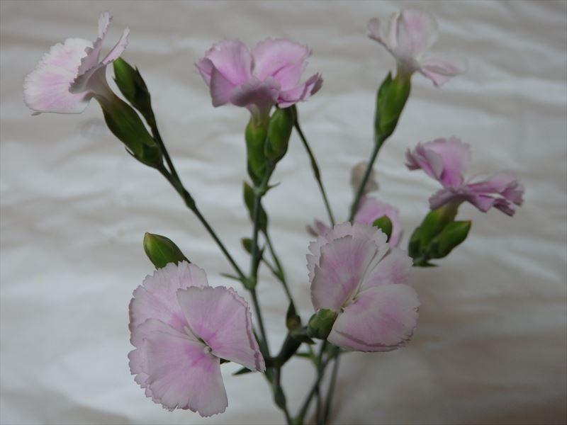 今が旬、とても可憐なナデシコの花