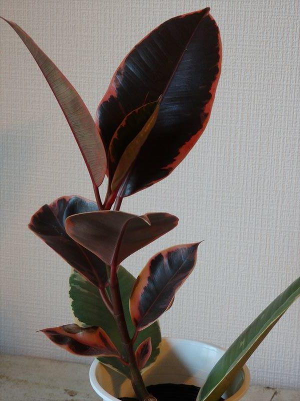 小さいながらに赤く染まる葉っぱが印象的