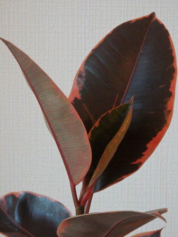 発色の良い赤い葉っぱのフィカス・ベリーズ