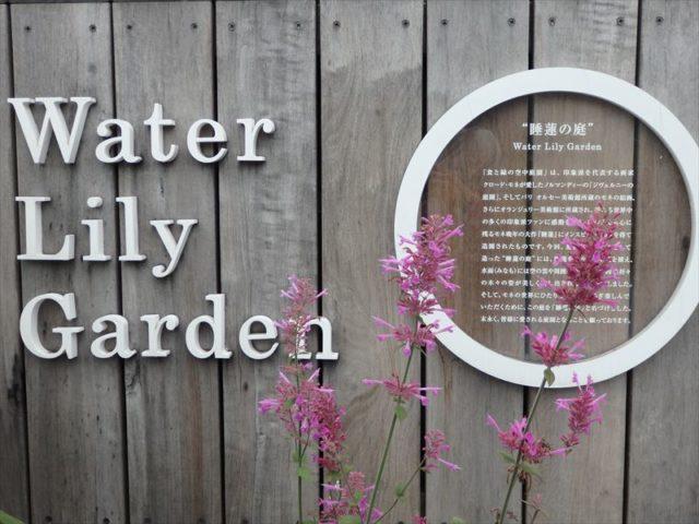 今が旬の睡蓮が満開の庭