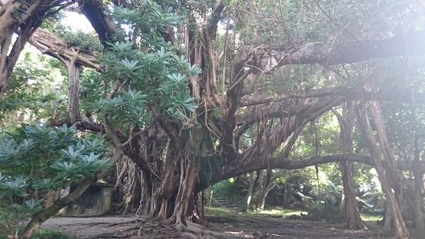 沖縄で有名なガジュマルの木