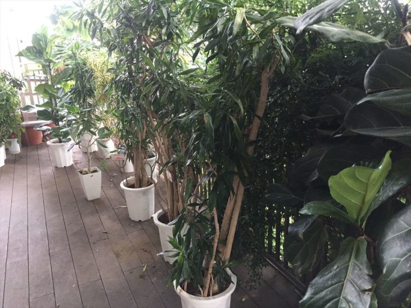観葉植物のセール品