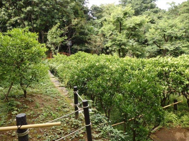 日本庭園の裏面にみかん畑