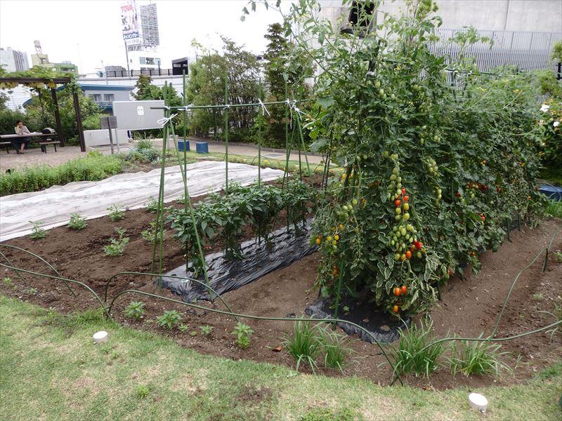 収穫された野菜が食べてみたい