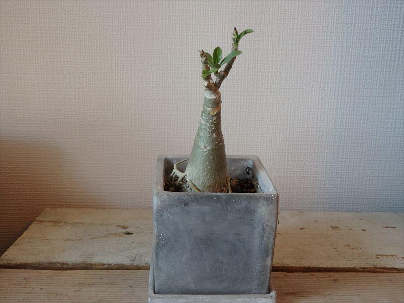 植え替え後の初発芽