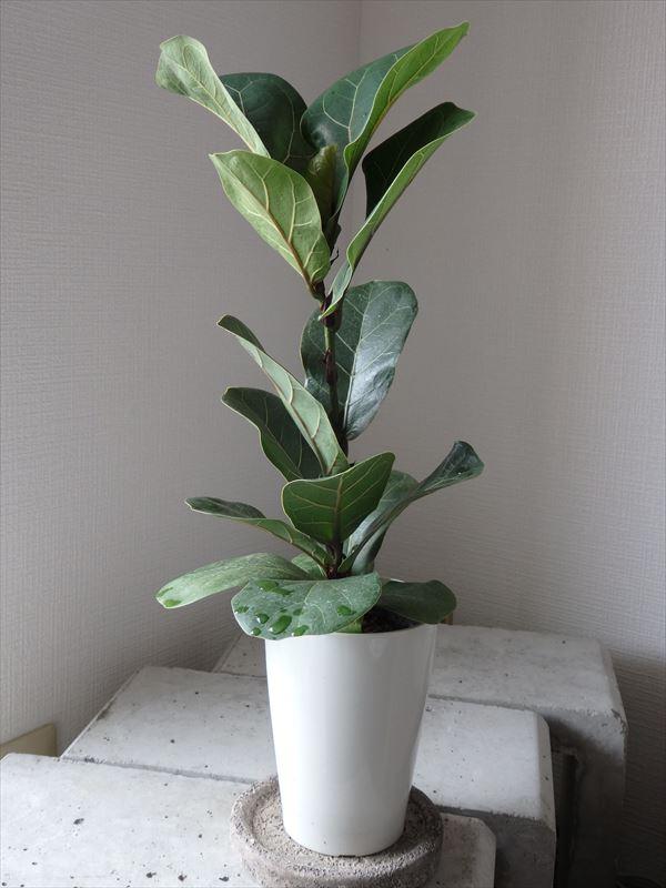 観葉植物に適したバンビーノ