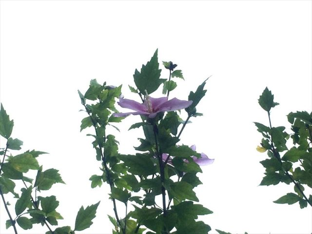 真夏に唯一咲いているムクゲ
