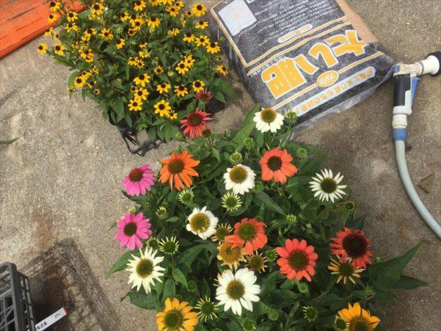 数少ない真夏の花