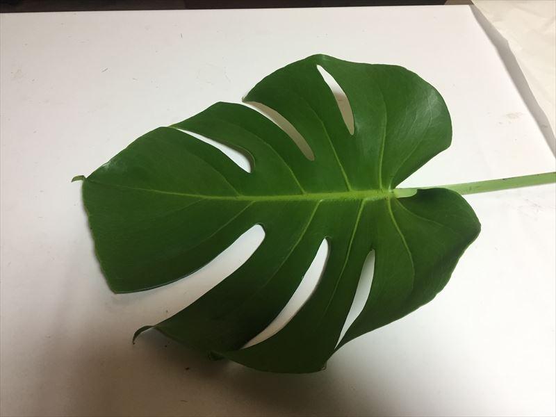 言わずと知れた観葉植物モンステラ