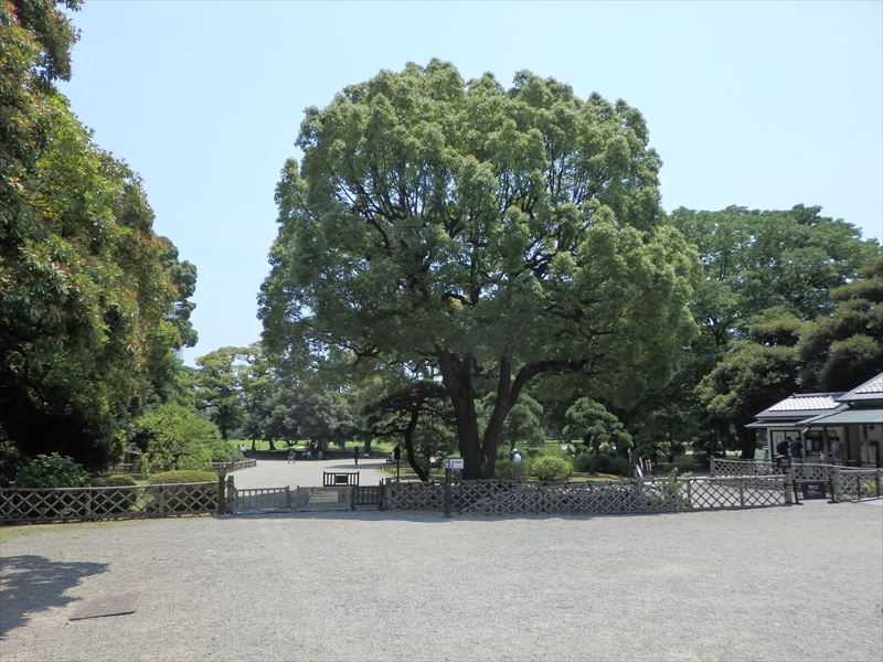 シンボルツリーけやきの木