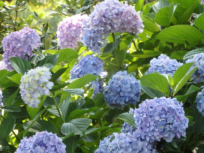 今の時期一番綺麗な花はアジサイ