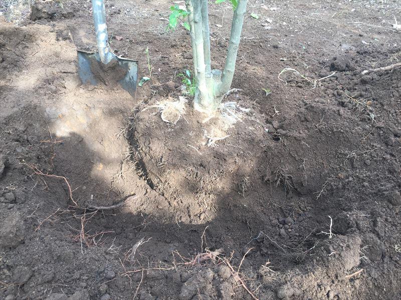 掘り取る範囲が決まったら掘る