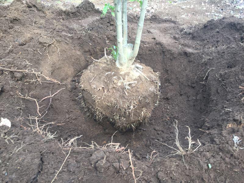 掘り起こされた樹木の株