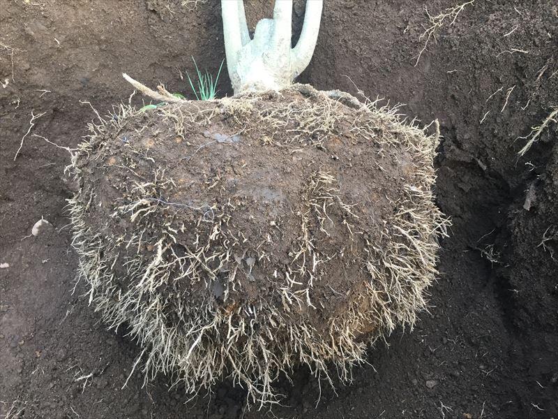 ラピュタ状態な樹木の根っこ