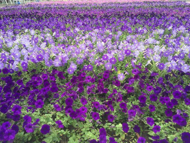 1000本の花壇