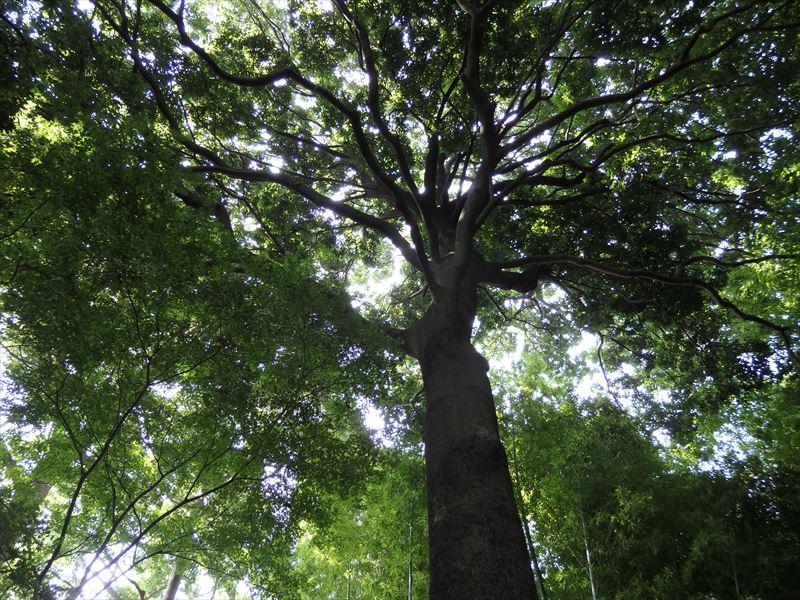 シンボルツリー巨木のシラカシ