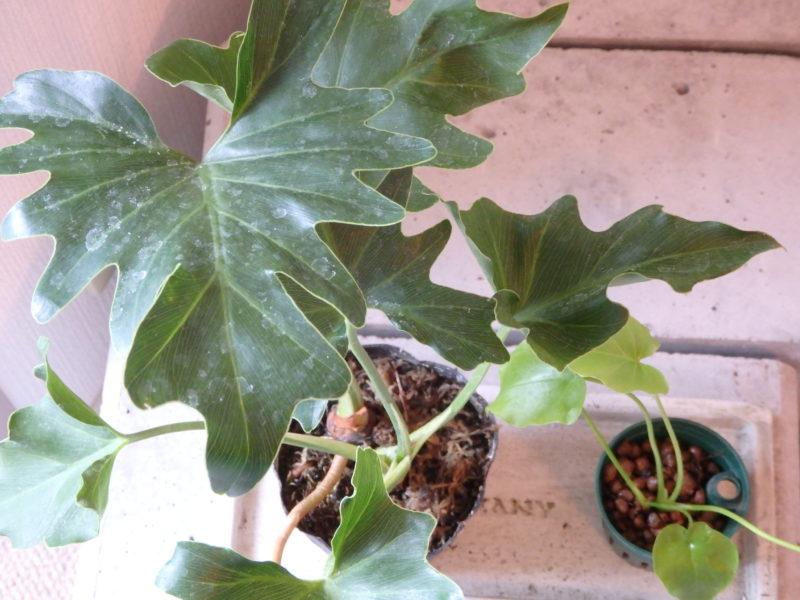 人気の観葉植物セローム