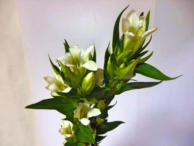 とても奥ゆかしい趣のある白いリンドウ