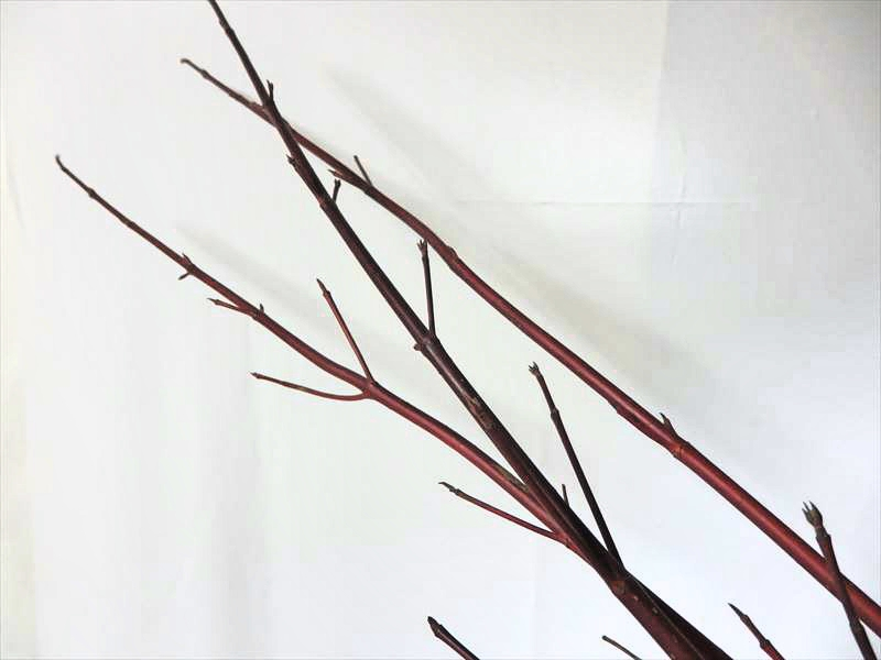 赤くなる枝の代表格のサンゴミズキ