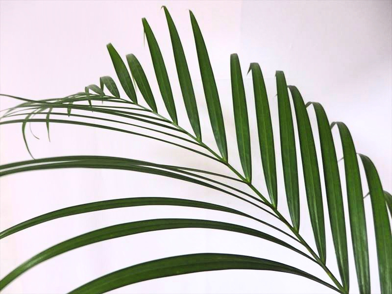 観葉植物でおなじみの植物