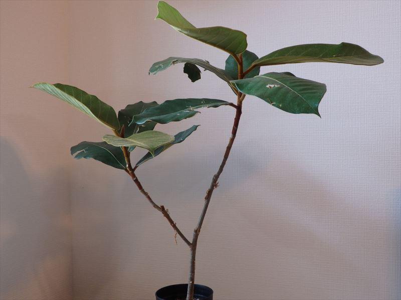 ひょろっとした樹形のゴムの木