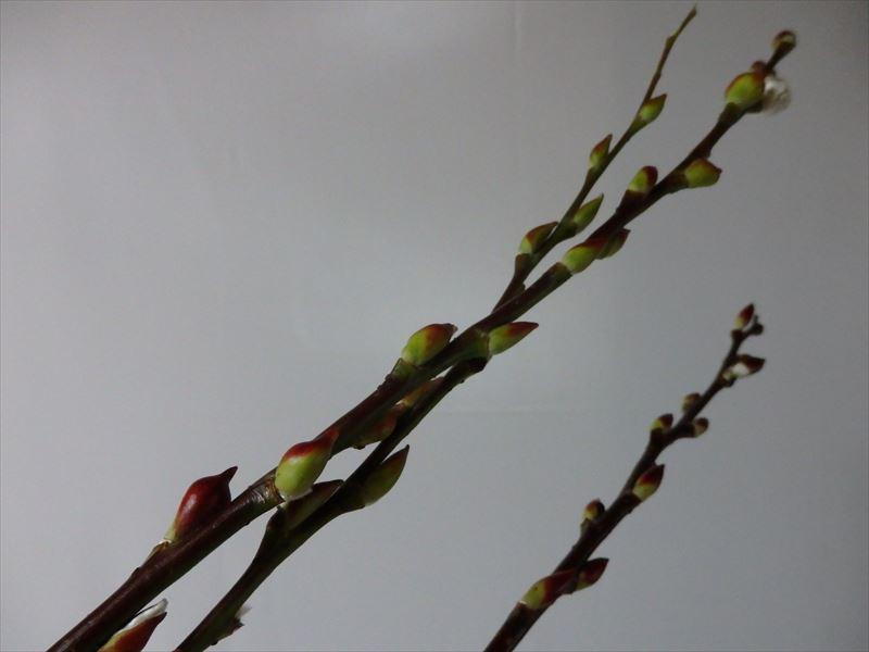 猫柳にそっくりな赤芽柳