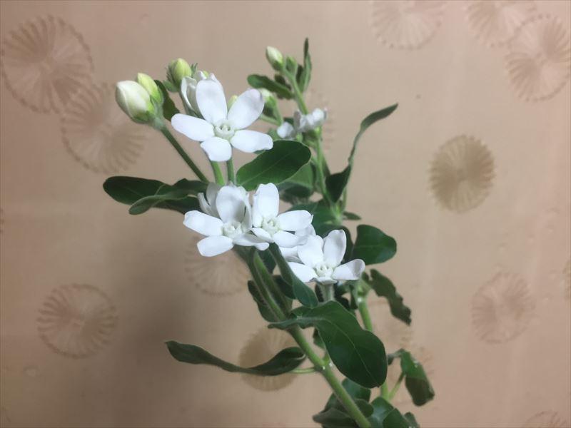 人気の花材ブバリア