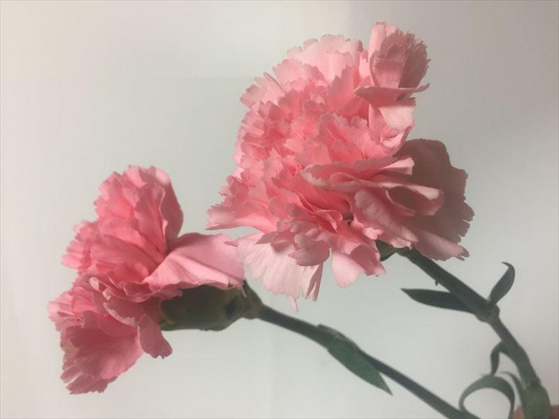ピンクの色がとてもキレイなカーネーション