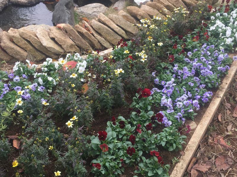 冬の花の植栽を行ない良い色合いの花壇